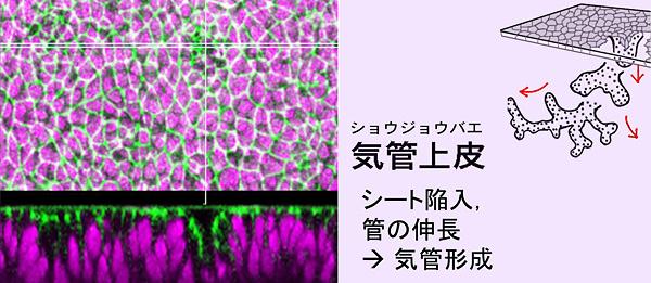 上皮細胞の動態を制御する場とし...